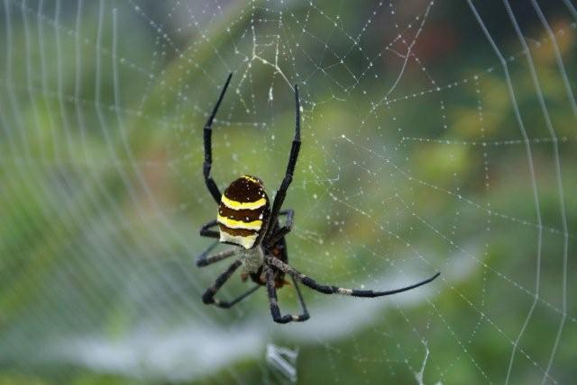 女郎蜘蛛.jpg